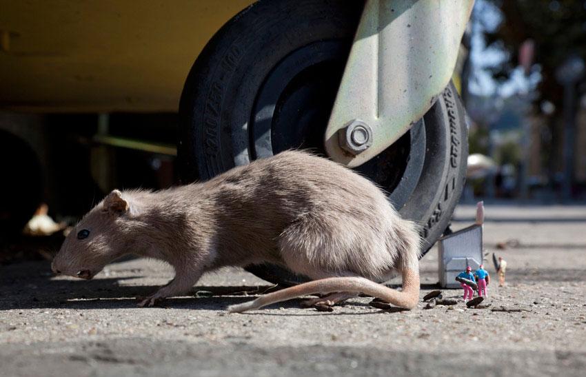 La comida basura es una rata