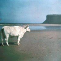"Photo by John Cimin Walburg: 1915 ""Cow on Saltburn sands."""